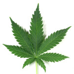 09_Weed Leaf